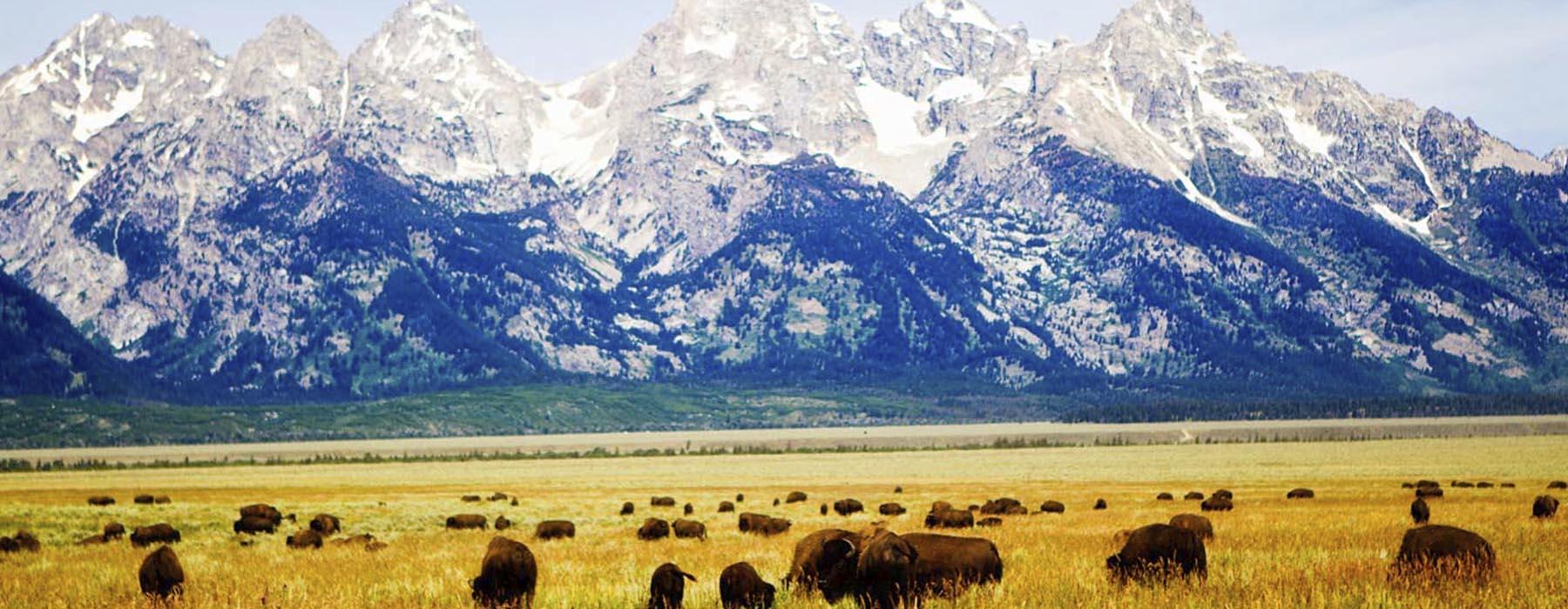 Buffalo on a field.