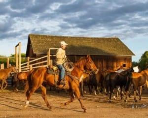 Rancher wrangling horses.